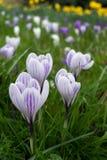 Krokusar som blommar i östliga Grinstead Royaltyfri Foto