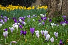 Krokusar som blommar i östliga Grinstead Arkivbild