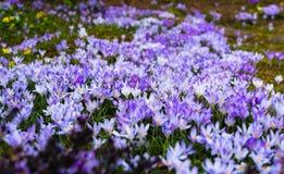 Krokusar som täckas i purpurfärgade blommor för röjning arkivbilder