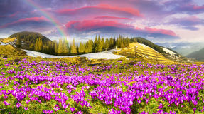 Krokusar under Chernogora Royaltyfria Foton
