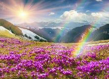 Krokusar under Chernogora Royaltyfria Bilder