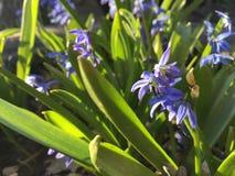 Krokusblåttblommor Royaltyfria Bilder