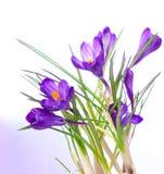 Krokusbloem in de geïsoleerde lente stock foto