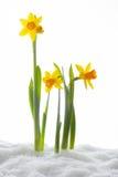 Krokusbloem het groeien vormsneeuw De lentebegin Stock Afbeelding
