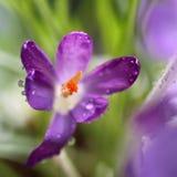 Krokusbloem, hoogste mening Dichte omhooggaand van de krokusbloem stock fotografie