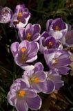 Krokusbloemen Stock Foto's