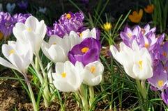 Krokusbloemen in de lente, Noorwegen Royalty-vrije Stock Fotografie