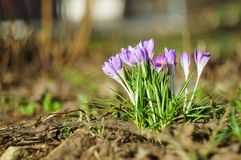Krokusbloemen in de vroege lente op een vage achtergrond Zachte nadruk vaas toe royalty-vrije stock afbeelding