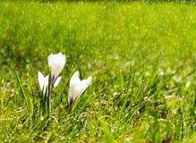 Krokusbloemen in de zonneschijn in de regen Royalty-vrije Stock Afbeeldingen