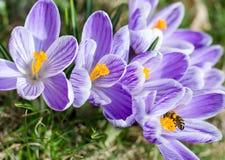 Krokusbloemen en bij in hen royalty-vrije stock fotografie