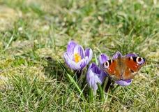 Krokusbloemen en vlinder in hen stock fotografie