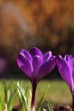 Krokusblomma i trädgårds- vårkänsla Royaltyfria Foton