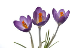 krokusblommor isolerade purpur white Arkivbilder
