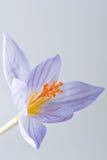 Krokusblumen Lizenzfreie Stockbilder