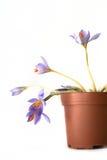 Krokusblumen Stockbild