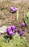 Krokusblumen auf dem Blumenbeet Stockfoto