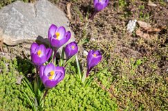 Krokusblumen auf dem Blumenbeet Lizenzfreie Stockfotos