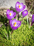 Krokusblumen auf dem Blumenbeet Lizenzfreies Stockfoto