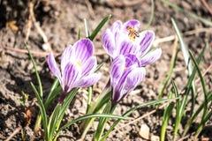 Krokusblumen auf dem Blumenbeet Stockfotografie