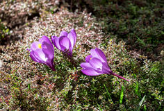 Krokusblumen auf dem Blumenbeet Stockbilder