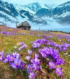 Krokusblumen auf Fr?hlingsberg und -gletscher lizenzfreie stockbilder