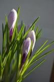 Krokusblumen in den Tautropfen Lizenzfreies Stockfoto