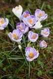 Krokusblumen Eine Gruppe Krokusse im Gras Lizenzfreie Stockfotografie