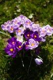 Krokusblumen Eine Gruppe Krokusse im Gras Lizenzfreie Stockfotos