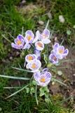Krokusblumen Eine Gruppe Krokusse im Gras Stockfoto