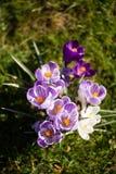 Krokusblumen Eine Gruppe Krokusse im Gras Stockbilder