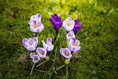 Krokusblumen Eine Gruppe Krokusse im Gras Lizenzfreies Stockbild