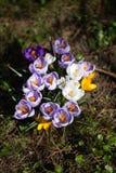Krokusblumen Eine Gruppe Krokusse im Gras Stockfotografie
