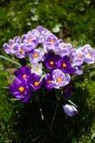 Krokusblumen Eine Gruppe Krokusse im Gras Stockbild
