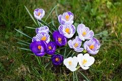 Krokusblumen Eine Gruppe Krokusse im Gras Lizenzfreies Stockfoto