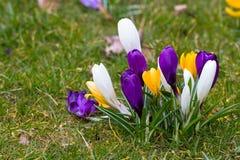 Krokusblumen in einem Park Lizenzfreie Stockfotos