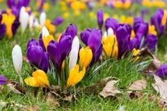 Krokusblumen in einem Park Stockfoto