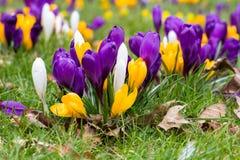 Krokusblumen in einem Park Stockbild
