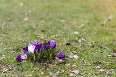 Krokusblumen in einem Park Lizenzfreie Stockfotografie