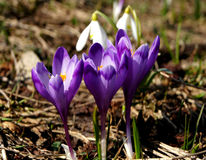Krokusblumen im Frühjahr Lizenzfreie Stockfotos