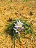 Krokusblumen im Frühjahrsonnenschein Lizenzfreies Stockbild