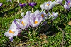 Krokusblumen im Frühjahrsonnenschein Stockfotografie