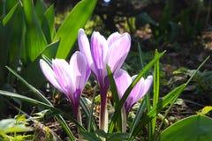 Krokusblumen im Frühjahrsonnenschein Stockfotos