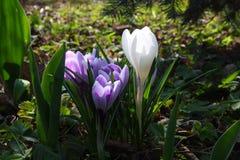 Krokusblumen im Frühjahrsonnenschein Stockbild
