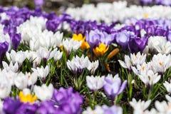 Krokusfrühlingsblumen lizenzfreies stockbild