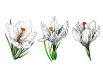 Krokusfrühlingsblumen-Illustrationssatz Stockbilder