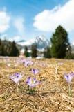 Krokusheuffelianus - Safran Tatranksy in Hoge Tatras stock foto