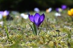 Krokusse blüht im Garten an einem sonnigen Tag Lizenzfreie Stockfotos