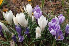 Krokusse, Fr?hlingsgartenblumen stockfotografie