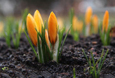 Krokusse im Frühjahr, natürlicher Hintergrund Stockfoto