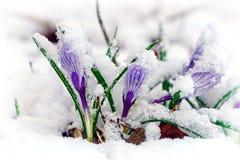 Krokusse im Schnee Lizenzfreie Stockbilder